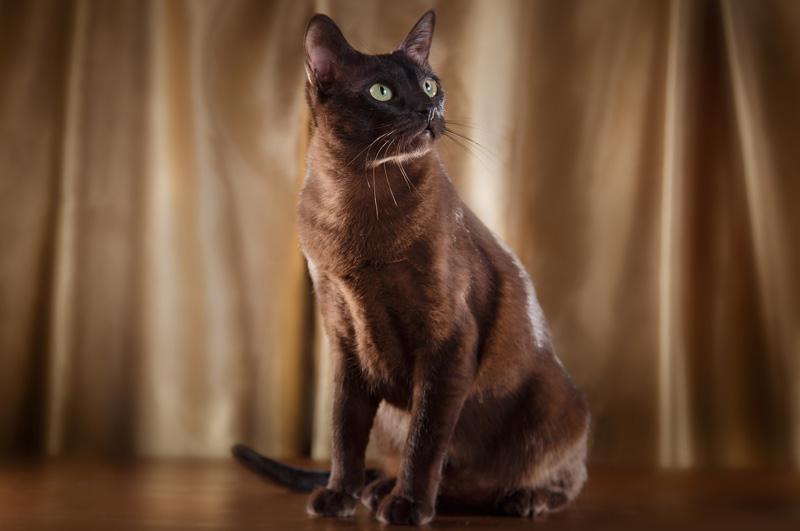 Kot Tonkijski Sklep Zoologiczny Zoo Mar