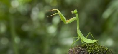 modliszka-mantis
