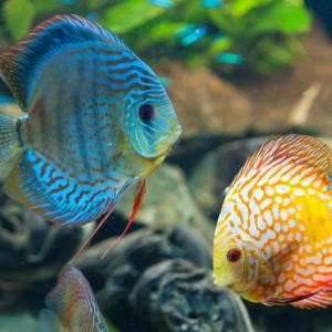 Staw datowania ryb