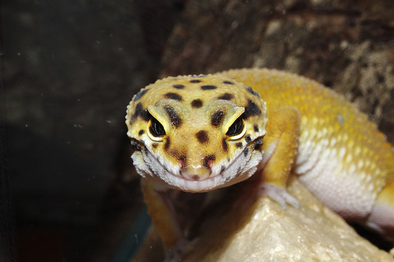 Niesamowite Gekon lamparci - Sklep zoologiczny ZOO-MAR KG95