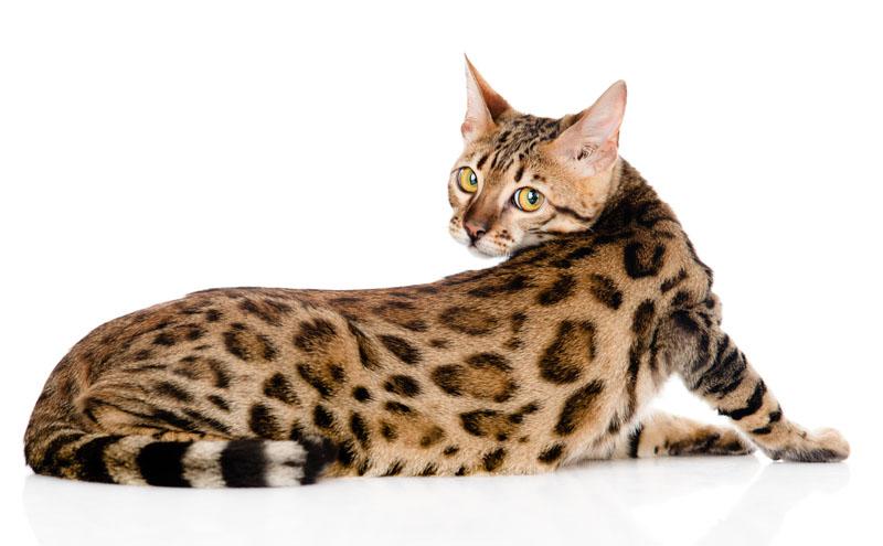 Najnowsze Kot bengalski - Sklep zoologiczny ZOO-MAR OD82